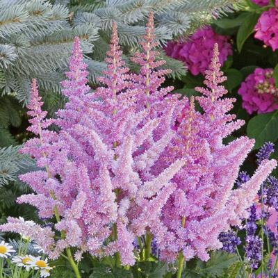 Astilbe 'Vision in Purple'