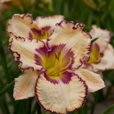 Hemerocallis 'Antique Linen'