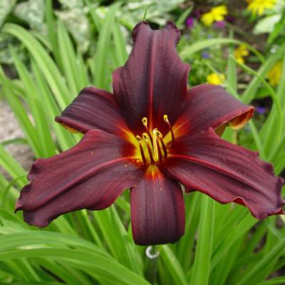 Hemerocallis 'Black Emanuelle'