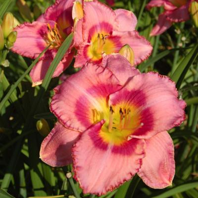 Hemerocallis 'Dress Pink'