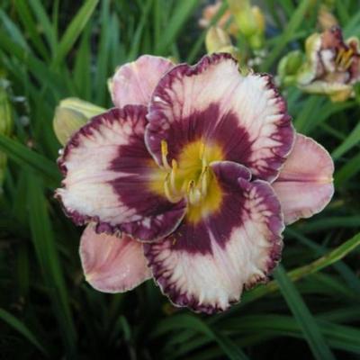 Hemerocallis 'Exotic Treasure'