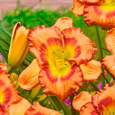 Hemerocallis 'Fruity Kiss'