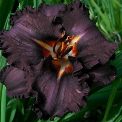 Hemerocallis 'Longfields Black Magic'