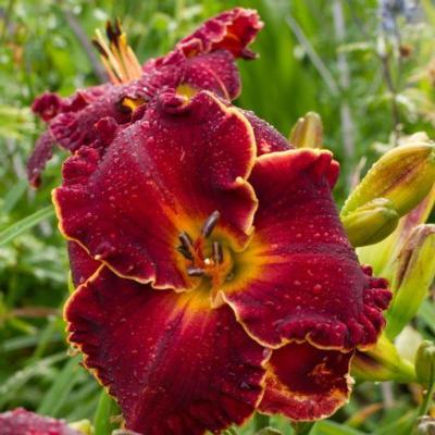 Hemerocallis 'Naughty Red'