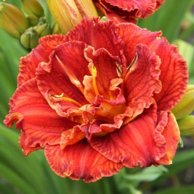Hemerocallis 'Paprika Flame'