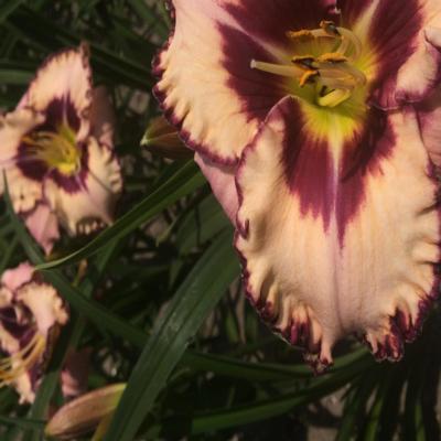 Hemerocallis 'Purple Flame'