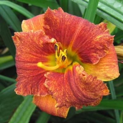 Hemerocallis 'Spacecoast Freaki Tiki'