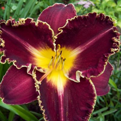 Hemerocallis 'Storm of the Century'