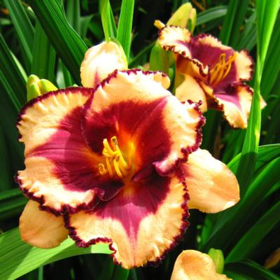 Hemerocallis 'Tropical Surprise'