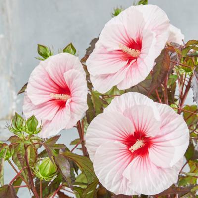 Hibiscus moscheutos 'Carousel Pink Candy'