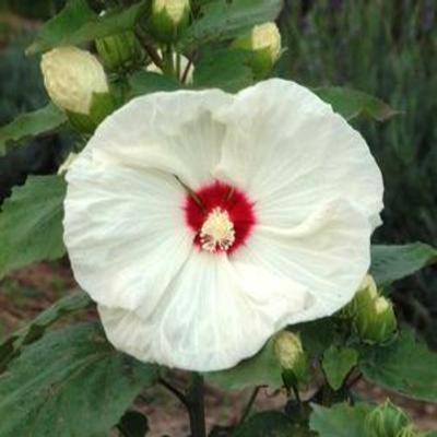 Hibiscus moscheutos 'Old Yella'