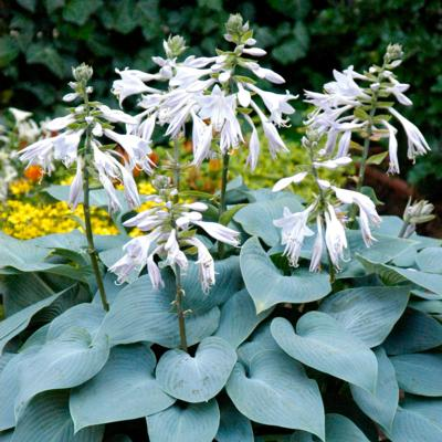 Hosta 'Bullit Proof'