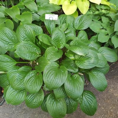 Hosta 'Celtic Uplands'