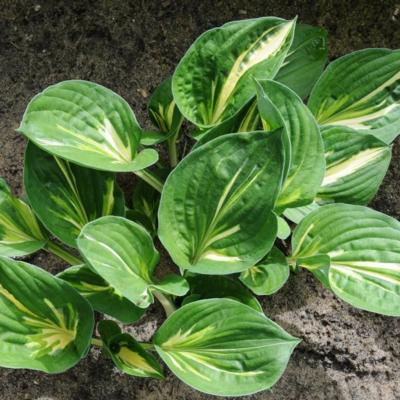 Hosta 'Clifford's Stingray'