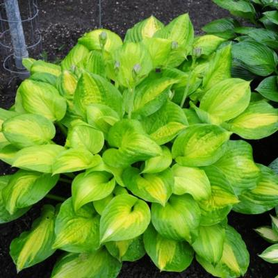 Hosta 'Dance With Me'