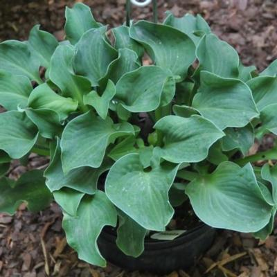 Hosta 'Dancing Mouse'