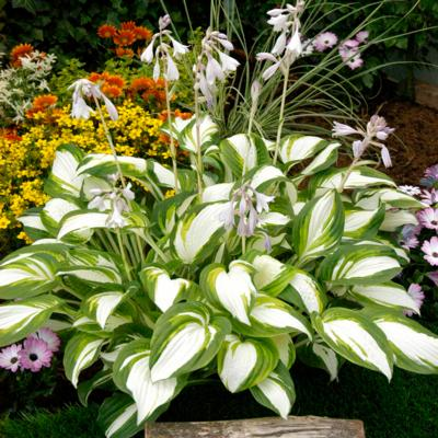 Hosta 'Enterprise'