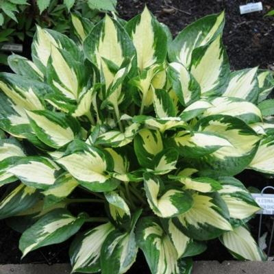 Hosta 'Eternal Flame'