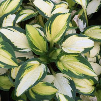 Hosta 'Georgia Sweetheart'