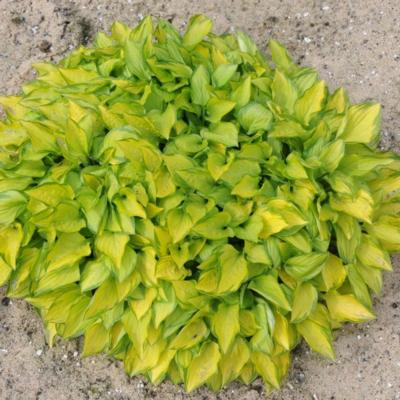 Hosta 'Green with Envy'