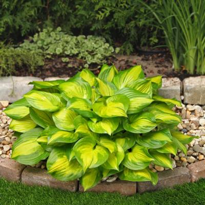 Hosta 'Lakeside Banana Bay'