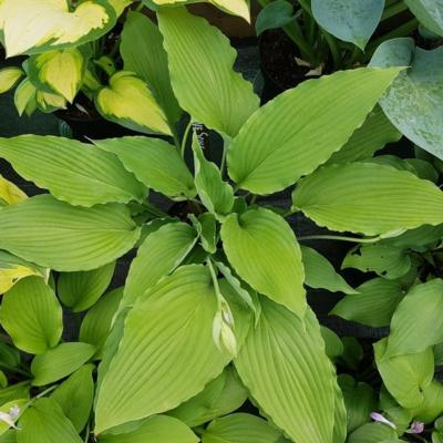 Hosta 'Love Song'