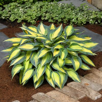 Hosta 'Magic Island'