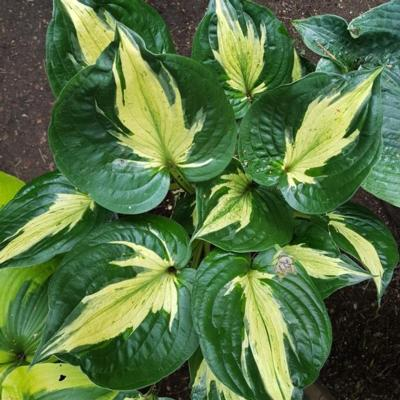 Hosta 'Midnight at het Oasis'