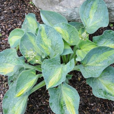 Hosta 'Rhino Hide'