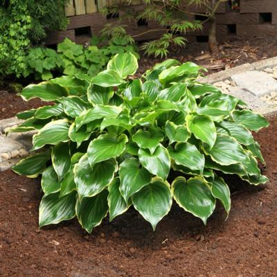 Hosta 'Sugar and Spice'