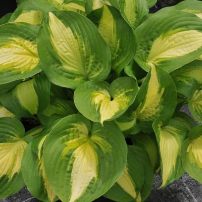 Hosta 'Summer Music'