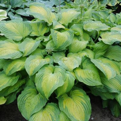 Hosta 'Summer Serenade'