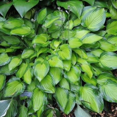 Hosta 'Sweet Home Chicago'