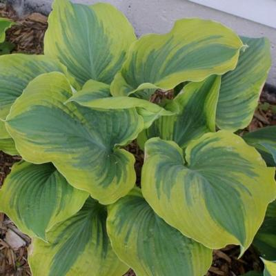 Hosta 'The King'