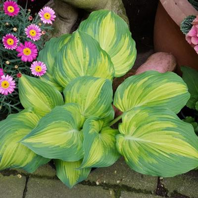 Hosta 'The Queen'
