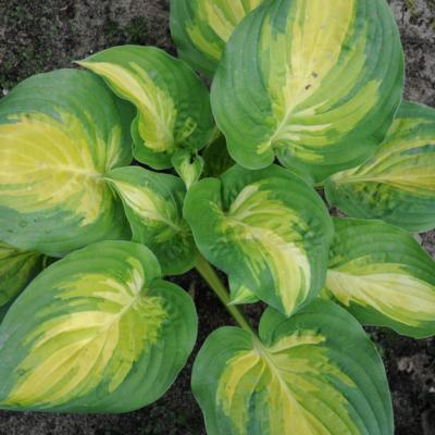 Hosta 'The Right One'