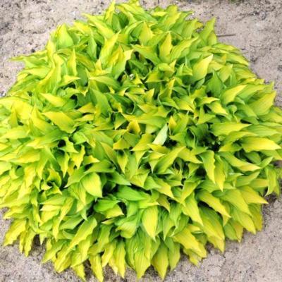 Hosta 'Twist of Lime'
