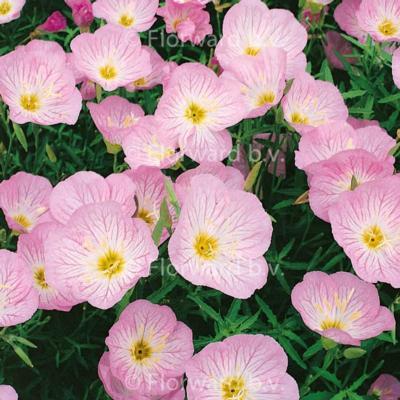 Oenothera 'Siskiyou Pink'