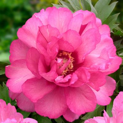 Paeonia itoh 'Julia Rose'