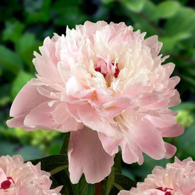 Paeonia lactiflora 'Alertie'