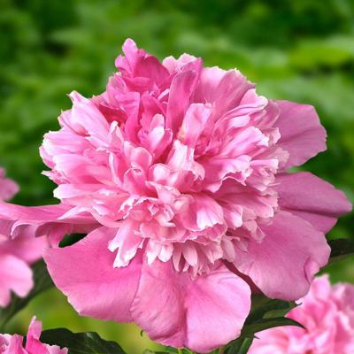 Paeonia lactiflora 'Bouquet Perfect'