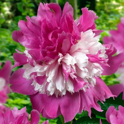 Paeonia lactiflora 'Celebrity'