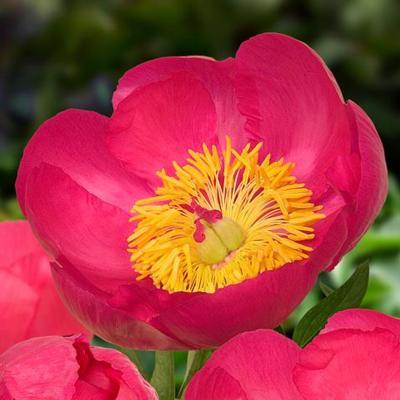 Paeonia lactiflora 'Flame'