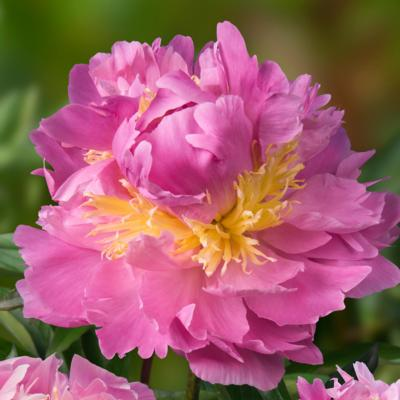 Paeonia lactiflora 'Lavon'