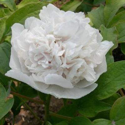 Paeonia suffruticosa 'Bai Xue Ta'