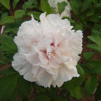 Paeonia suffruticosa 'Juan Ye Hong'