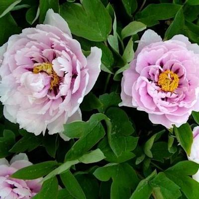 Paeonia suffruticosa 'Lan Bao shi'