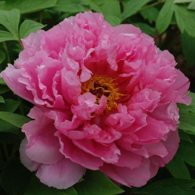 Paeonia suffruticosa 'Ru Fu Rong'