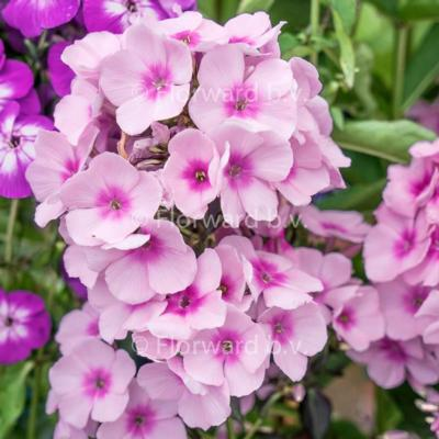Phlox paniculata 'Bright Eyes'
