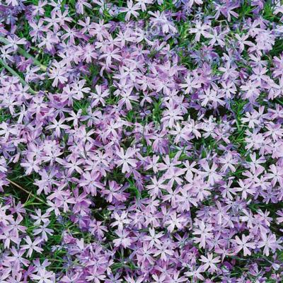 Phlox subulata 'Emerald Cushion Blue'